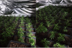 Approximately 1000 cannabis plants uncovered in a property in Bury town centre